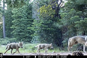 Photo for Judge Upholds State Protections For Endangered Gray Wolves