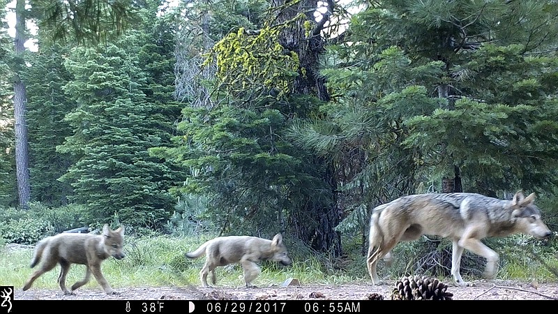 This June 29, 2017, remote camera image released by the U.S. Forest Service s...