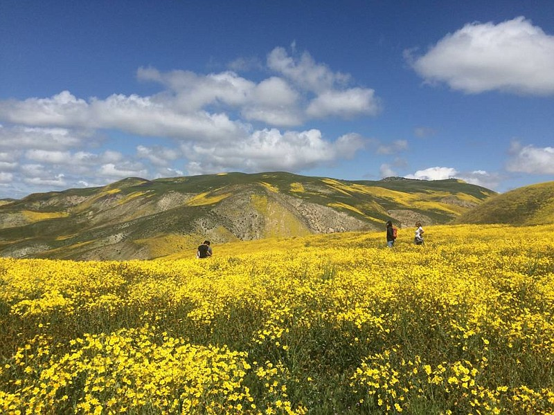 This hillside was covered with tiny, yellow wildflowers in on the Temblor Ran...