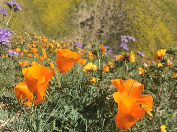 Flowers in a field during a super bloom in California in ...