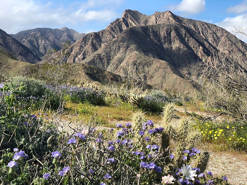 Flowers in bloom after a series of rainstorms in Borrego Springs, March 6, 20...