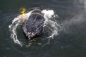 Photo for California Crab Fisheries To Close Early To Protect Whales
