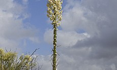 A Chaparral yucca in Mission Trails Regional Pa...