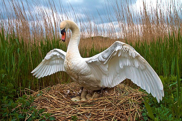 Male swans often do some of the incubation, but not as mu...