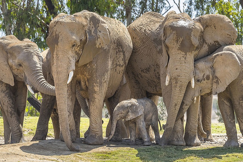 New elephant calf Zuli with the rest of the elephant herd at the San Diego Zo...