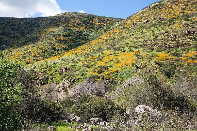 A hillside in Mission Trails Regional Park covered in California poppies is p...