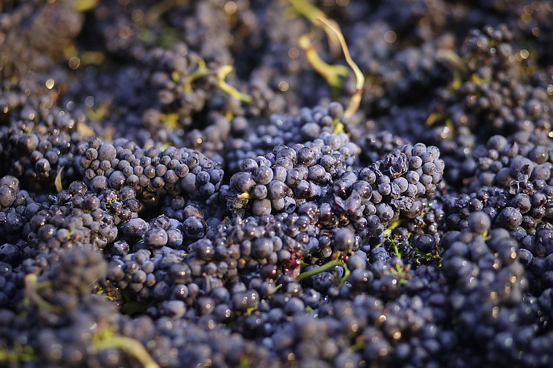 Pinot Noir grapes just picked are shown in a bin in Napa, Calif., Friday, Aug...