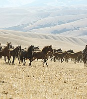 Wild horse herds and Yamnaya riders, Central Asian steppe.