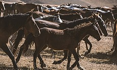 Horse herds on the Assy Plateau, Tien Shan Moun...