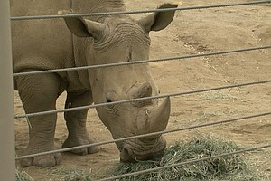 Clock Ticking On Northern White Rhino Extinction; San Die...
