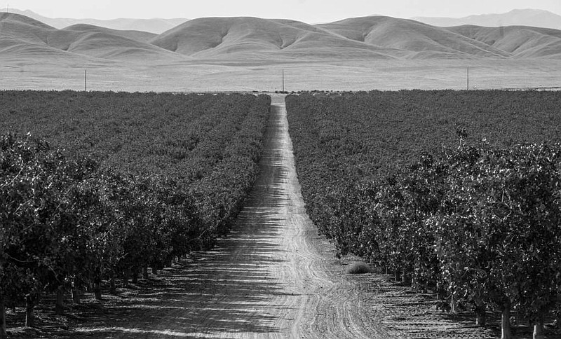 Pistachio orchards marching toward the horizon, owned by America's richest fa...