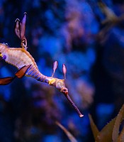 A weedy seadragon at the Birch Aquarium in this undated photo.