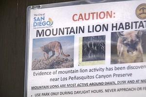 Photo for Wildlife Officers: DNA Analysis Shows Slain Mountain Lion Attacked Boy