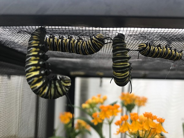 Monarch Caterpillars hang on the roof of a cage in a back...