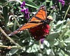 A monarch butterfly sits on a flower at Butterf...