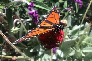 Photo for San Diego Mayor Signs Pledge To Help Endangered Monarch Butterflies
