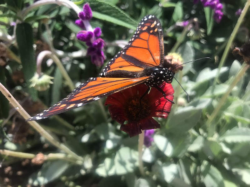 A monarch butterfly sits on a flower at Butterfly Farms in Encinitas on May 2...