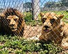 A pair of lions are pictured at the Lions Tiger...