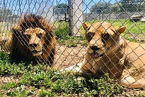 Alpine Animal Rescue Raising Awareness About Big Cats