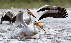 Huge groups of American White Pelicans flock to...
