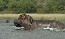 Hippos spend most of their day in the water, to...