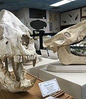 Dinocrocuta skulls on display at the  Roynon Museum of Earth Sciences and Paleontology, June 28, 2019.