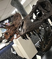 Dinosaur skulls on display at the  Roynon Museum of Earth Sciences and Paleontology, June 28, 2019.