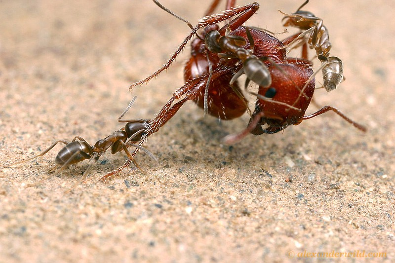 In this 2004 photo, Argentine ants, an aggressive pest species introduced by ...