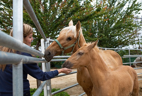 Helen Rivera feeds loquats to a few of her horses on her ...