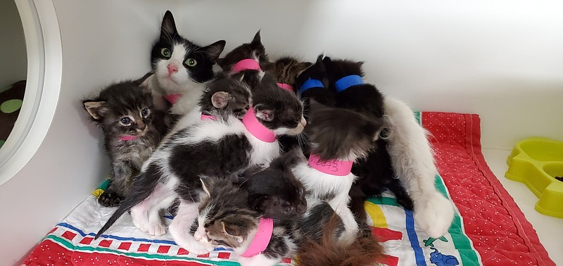 An 11-kitten litter is pictured at the San Diego Humane Society, August 8, 20...