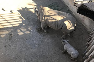 Baby Rhino In San Diego Gains Weight, Offers Promise For ...