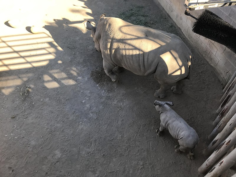 Baby rhino Edward now weighs more than 220 pounds, just a bit more than 2 wee...