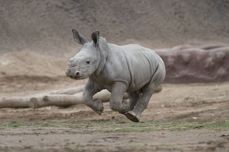 "Edward, a southern white rhino calf at the San Diego Zoo Safari Park, ""gets a..."