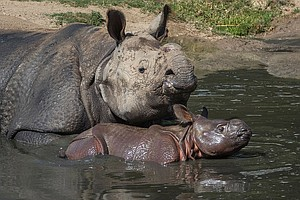 Month-Old Rhino Calf Enters Zoo Safari Park's Field Exhib...