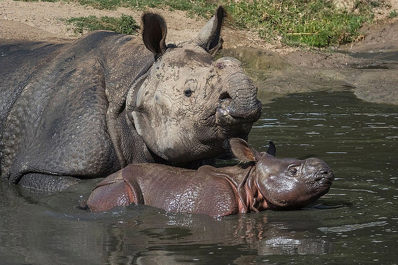 A one-month-old greater one-horned rhino calf and her mother enjoyed a dip in...