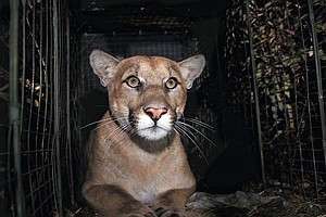 Photo for Mountain Lion Fatally Struck Trying To Cross LA Freeway