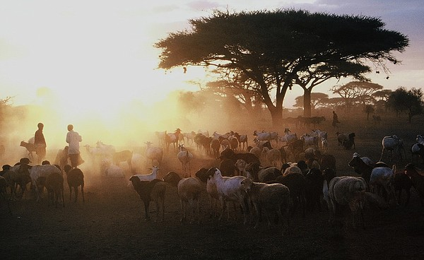 This photograph from Oct. 15, 2007, shows a Maasai herd o...