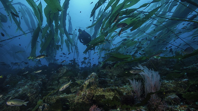 A diver in a kelp forest in California's Channel Island National Park, where ...