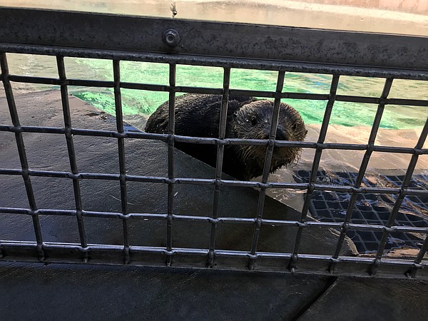 Coco, the southern sea otter, is hanging around the SeaWo...