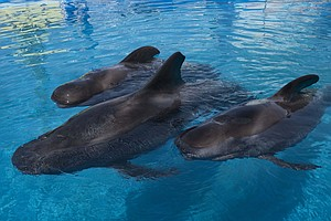 Photo for Three Rescued Pilot Whales Arrive At Long-Term Home At SeaWorld San Diego