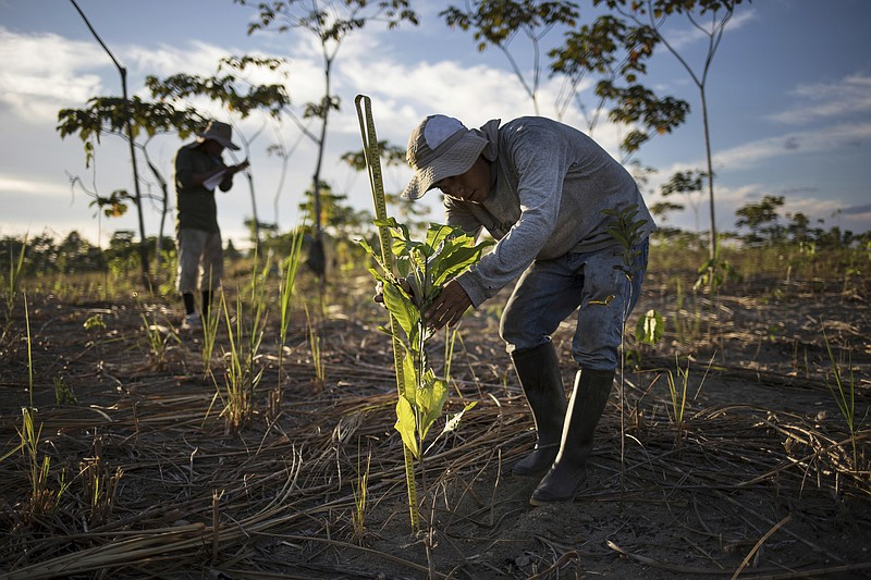 A reforestation assistant measures a newly-planted tree in a field damaged du...