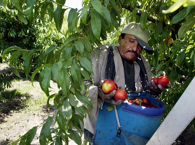 In this May 13, 2004, file photo, worker Roberto Rosiles picks fruit at a San...