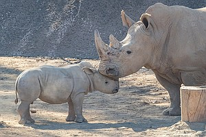 Safari Park's Rhino Calf Meets Other Rhino For First Time...