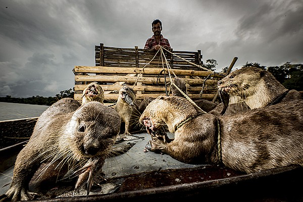 In Bangladesh, fisherman use otters to corral fish into n...