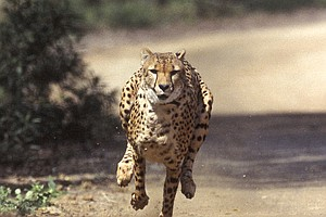 Bonsall Conservation Center To Host Cheetah Fundraiser