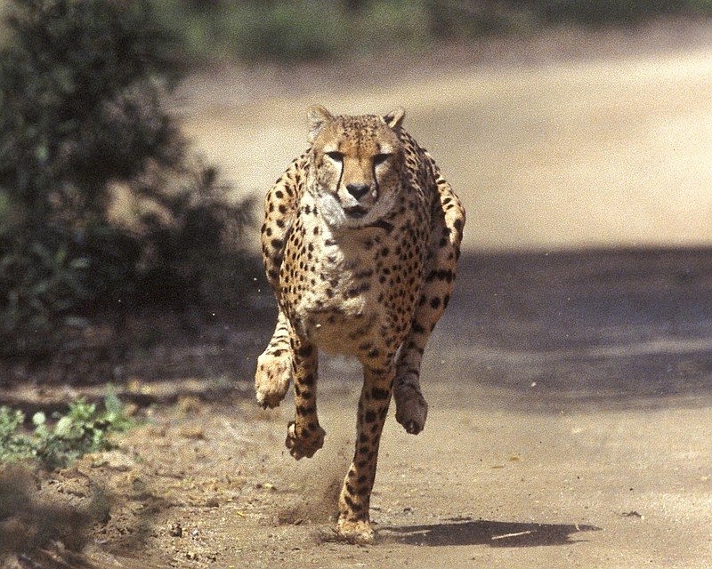 In this March 19, 2004, file photo, Majani, a 2-year-old male African cheetah...
