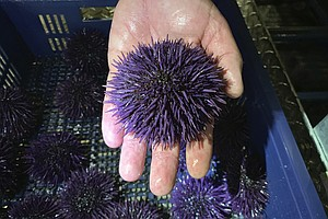 Sea Urchin Invasion Wreaks Destruction On California, Ore...