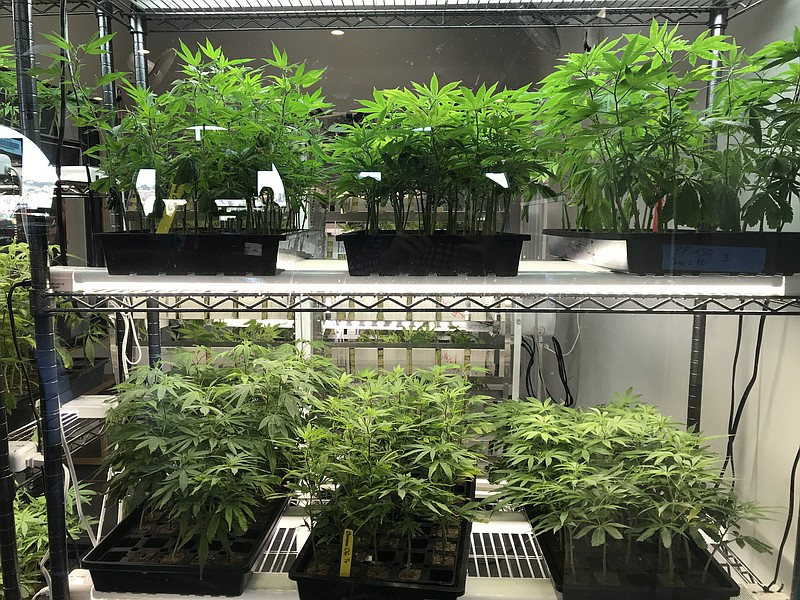 Small cannabis clones are seen in a display case at SDRC, a San Diego-based d...