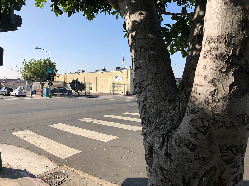 A tree with carved up bark stands near the San Diego intersection of Universi...