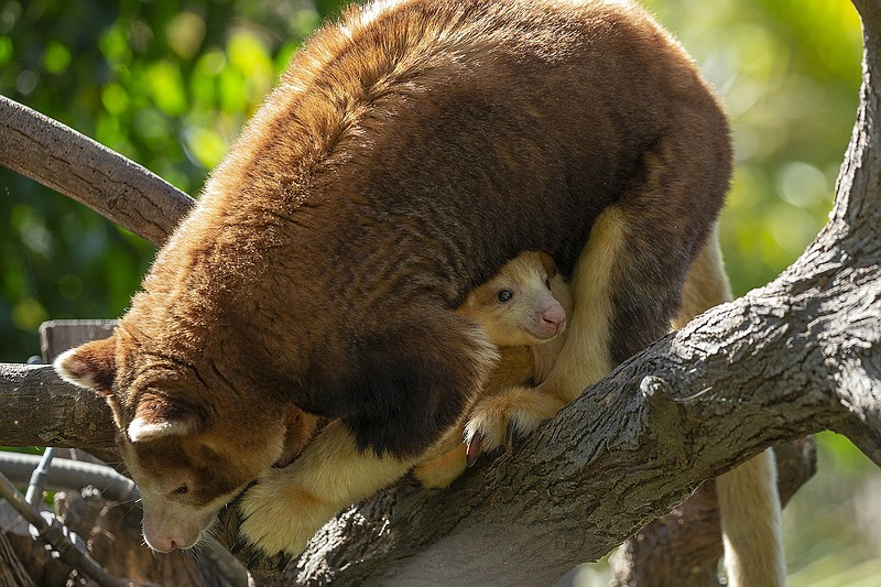 A 7-month-old female endangered Matschie's tree kangaroo can be seen peering ...
